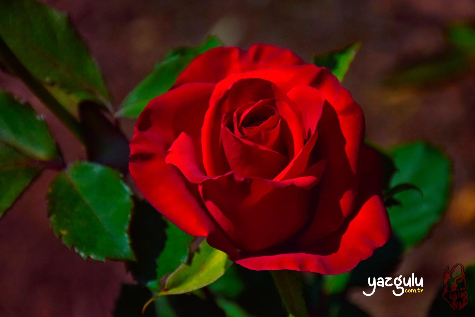 Red Rose, Kırmızı Gül